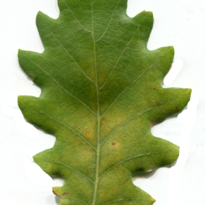Photographie n°1018388 du taxon Quercus pubescens Willd. [1805]