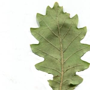 Photographie n°1018389 du taxon Quercus pubescens Willd. [1805]