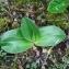 Valère DUNAND - Himantoglossum robertianum (Loisel.) P.Delforge