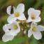 Barbara Mai - Brassicaceae