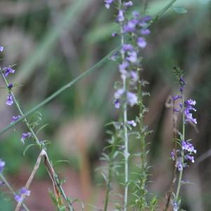 Photographie n°1019526 du taxon Anarrhinum bellidifolium (L.) Willd.