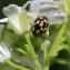 Barbara Mai - Alliaria petiolata (M.Bieb.) Cavara & Grande