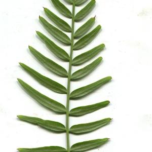 Photographie n°1021151 du taxon Schinus molle L.