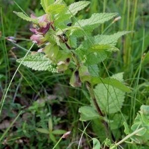 Photographie n°1022121 du taxon Melittis melissophyllum L. [1753]