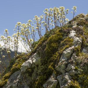 Photographie n°1022538 du taxon Saxifraga paniculata Mill.