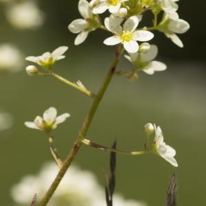 Photographie n°1022545 du taxon Saxifraga paniculata Mill.