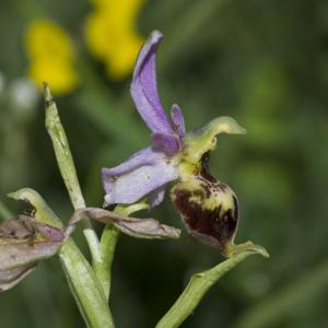 Photographie n°1022611 du taxon Ophrys fuciflora subsp. fuciflora