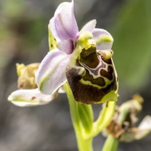 Photographie n°1022615 du taxon Ophrys fuciflora subsp. fuciflora