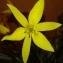 Daniel CHAPTAL - Tulipa sylvestris subsp. australis (Link) Pamp.