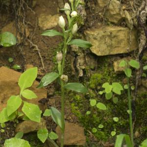 Photographie n°1022719 du taxon Cephalanthera damasonium (Mill.) Druce [1906]