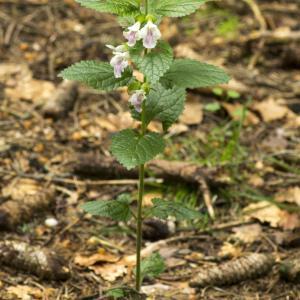 Photographie n°1022774 du taxon Melittis melissophyllum L. [1753]