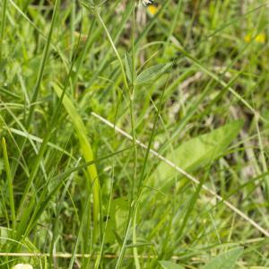 Photographie n°1022863 du taxon Trifolium montanum L. [1753]
