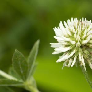 Photographie n°1022864 du taxon Trifolium montanum L. [1753]