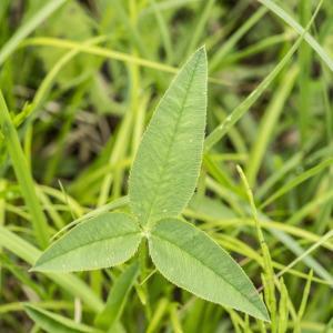 Photographie n°1022865 du taxon Trifolium montanum L. [1753]