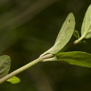 Photographie n°1023606 du taxon Veronica beccabunga L.