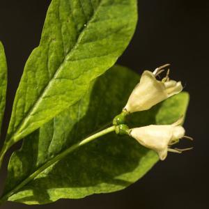 Photographie n°1023741 du taxon Lonicera nigra L. [1753]