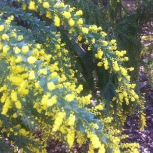 - Acacia longifolia (Andrews) Willd.