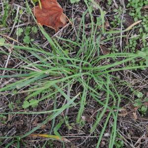 Photographie n°1024707 du taxon Allium schoenoprasum L.