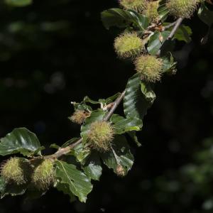 Photographie n°1024952 du taxon Fagus sylvatica L.