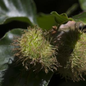 Photographie n°1024955 du taxon Fagus sylvatica L.