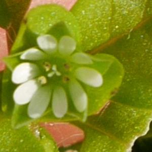 Photographie n°1031951 du taxon Stellaria media (L.) Vill. [1789]