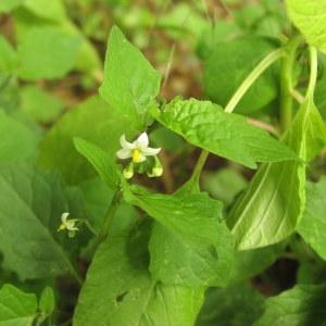 Photographie n°1032092 du taxon Solanum nigrum subsp. nigrum