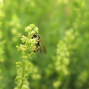 Photographie n°1032093 du taxon Solanum nigrum subsp. nigrum
