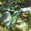 Yves DEMOUY - Colocasia esculenta (L.) Schott