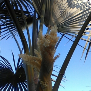 - coccothrinax barbadensis