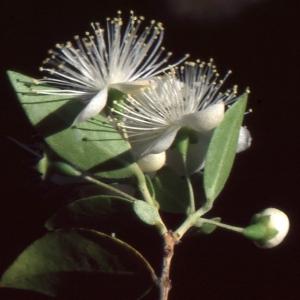 Myrtus communis var. leucocarpa DC.