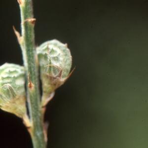 Photographie n°1033134 du taxon Onobrychis viciifolia subsp. montana (DC.) Gams [1924]