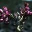 Liliane Roubaudi - Onobrychis viciifolia subsp. montana (DC.) Gams [1924]