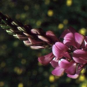 Photographie n°1033136 du taxon Onobrychis viciifolia subsp. montana (DC.) Gams [1924]