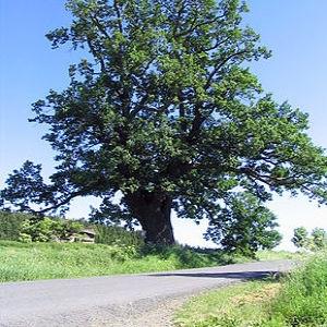 Photographie n°1033941 du taxon Chêne pédonculé