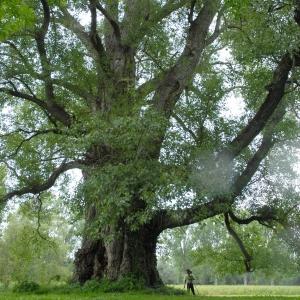 Photographie n°1033942 du taxon Populus nigra L.