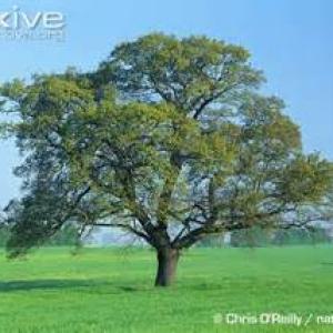 Photographie n°1033943 du taxon Chêne pédonculé