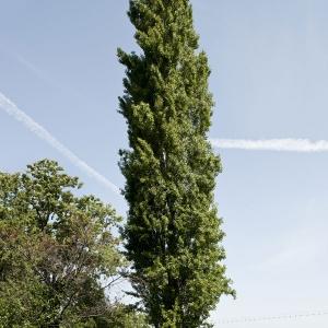 Photographie n°1033945 du taxon Populus nigra L.