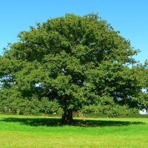 Photographie n°1033949 du taxon Chêne pédonculé