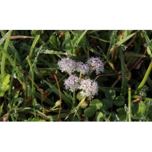 Helosciadium repens (Jacq.) W.D.J.Koch (Ache rampante)