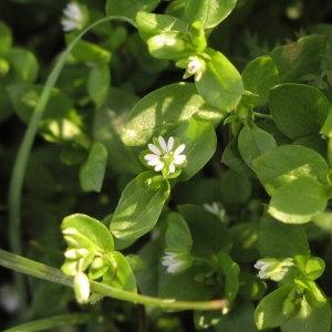 Photographie n°1037695 du taxon Stellaria media (L.) Vill. [1789]