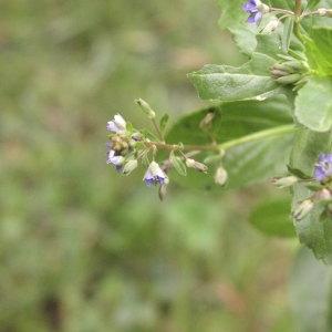 Photographie n°1040444 du taxon Veronica beccabunga L.