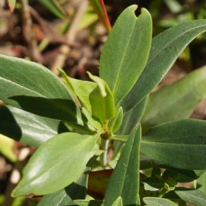 Photographie n°1041031 du taxon Centranthus ruber (L.) DC. [1805]