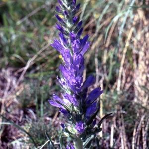 Photographie n°1041636 du taxon Campanula spicata L. [1753]