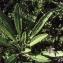 Liliane Roubaudi - Campanula spicata L.