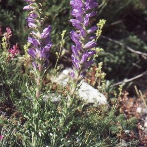 Photographie n°1041644 du taxon Campanula spicata L. [1753]