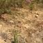 Liliane Roubaudi - Trachelium caeruleum L. [1753]