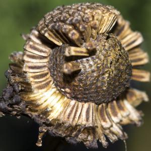 Photographie n°1044170 du taxon Tripleurospermum inodorum (L.) Sch.Bip. [1844]