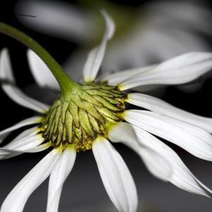 Photographie n°1044171 du taxon Tripleurospermum inodorum (L.) Sch.Bip. [1844]