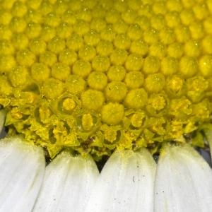 Photographie n°1044173 du taxon Tripleurospermum inodorum (L.) Sch.Bip. [1844]