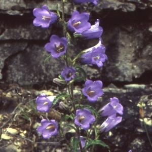 Photographie n°1048796 du taxon Campanula medium L. [1753]